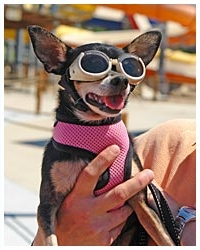 Pet Chihuahua at Pooch Pool Party